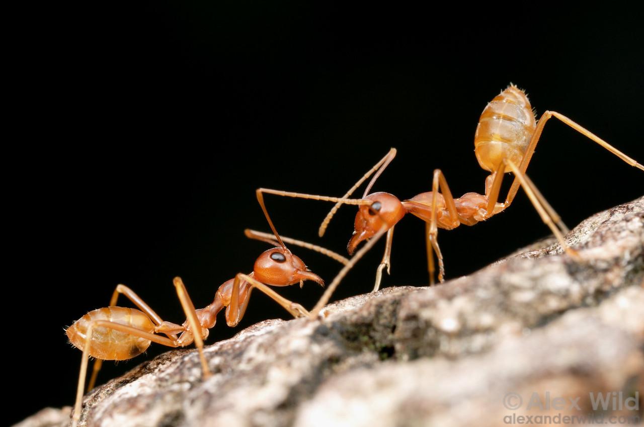 Ant communication